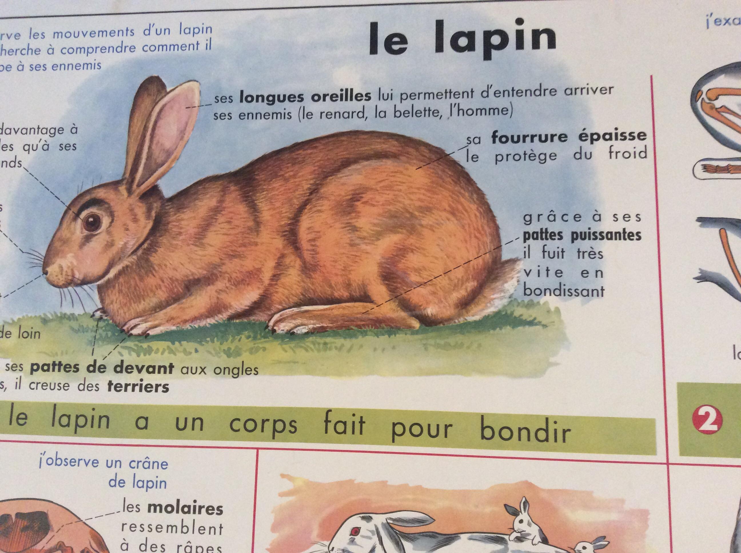 panneau pédagogique scolaire ancien le lapin